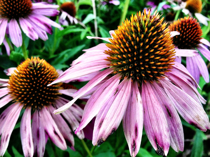 coneflower in downtown chattnooga